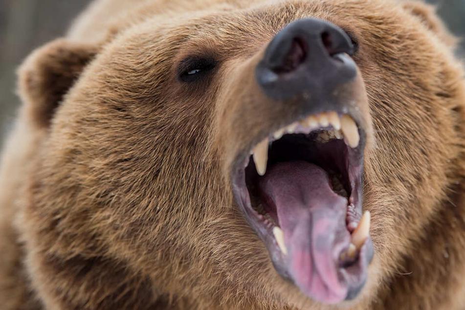 Braunbären greifen normalerweise nur an, wenn sie sich oder ihre Jungen bedroht sehen.