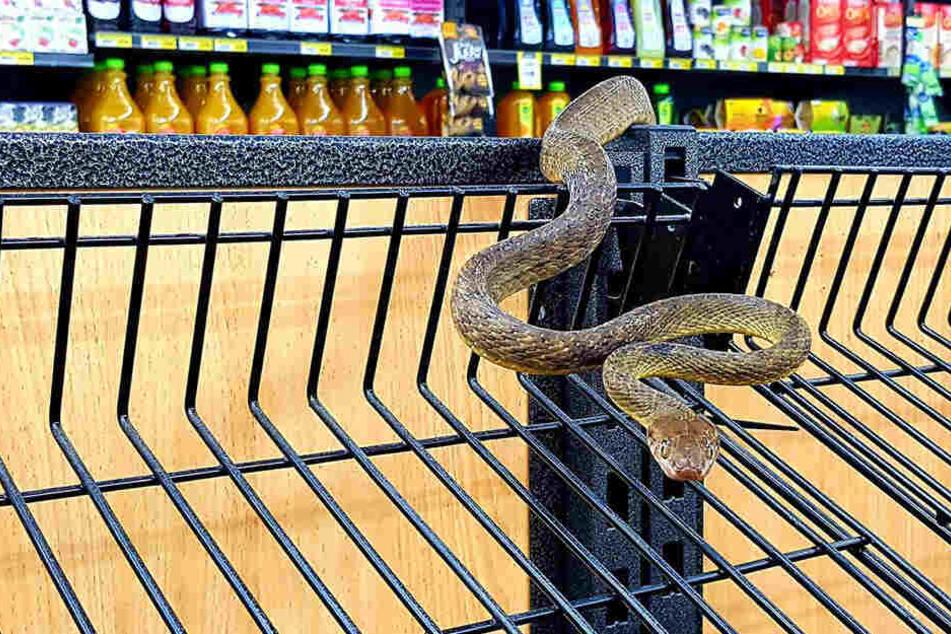 Die Schlange machte es sich am Brot-Regal bequem.