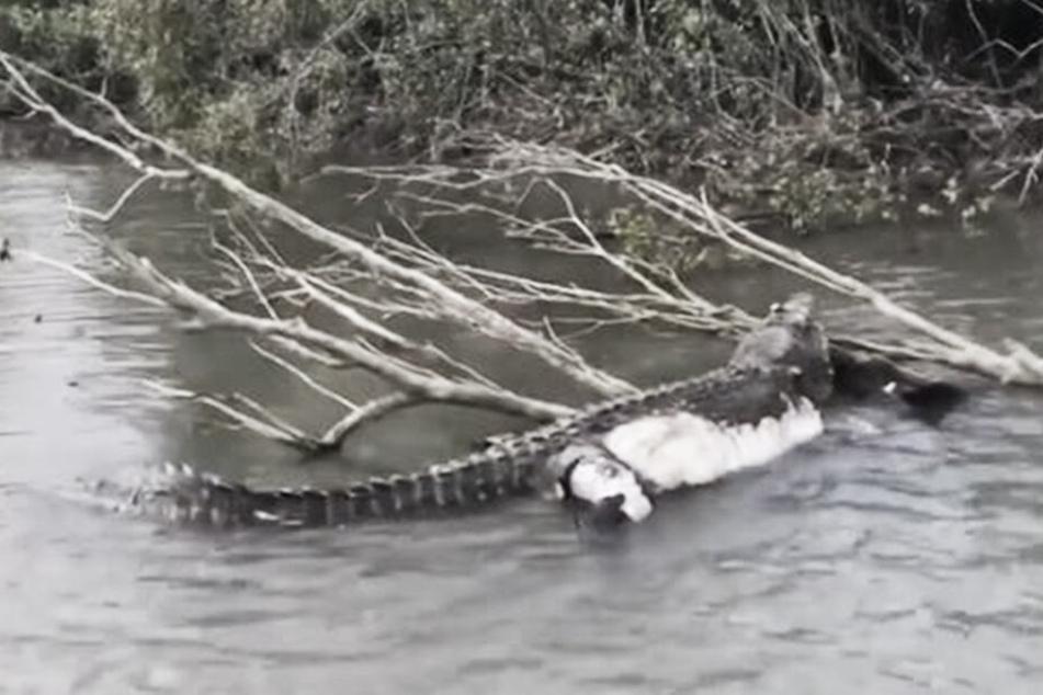 """Große Trauer! Uralt-Krokodil """"Bismarck"""" mit Kugeln im Kopf tot aufgefunden"""