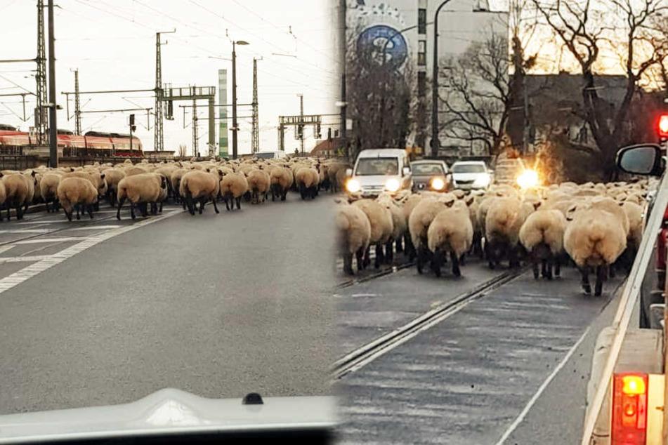 Für die Autofahrer, die hinter der Schafherde über die Marienbrücke wollten, hieß es warten.