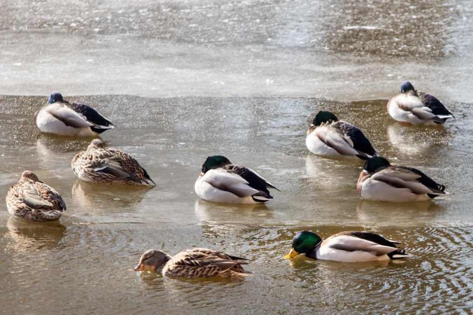 Statt Brot sind für Enten Haferflocken besser, die nicht in den Teich gestreut werden.