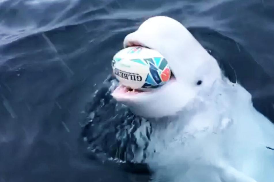 Dieser Wal spielt Rugby mit fremden Fischern