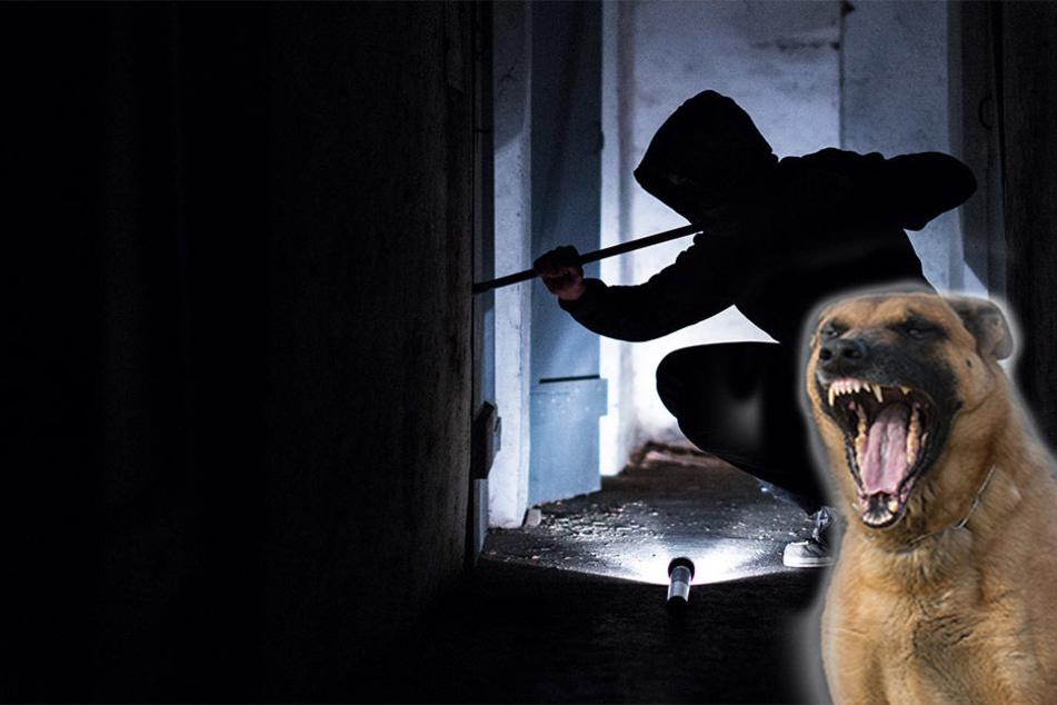 """Polizeispürhund """"Fighter von den Kranichteichen"""" lieferte den entscheidenden Beweis für die Beamten. (Symbolbild)"""