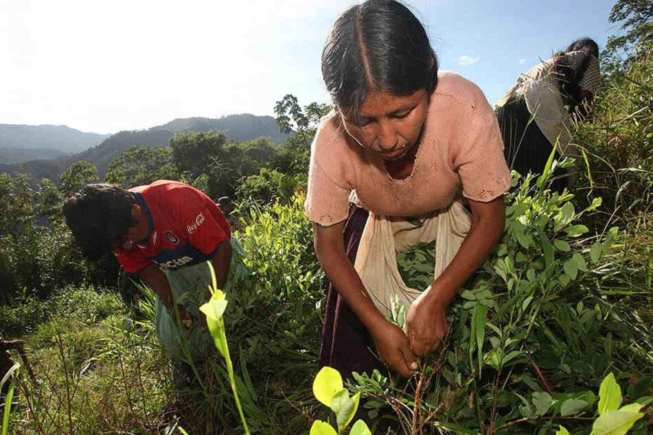Ernte von Koka-Blättern auf einer Plantage.