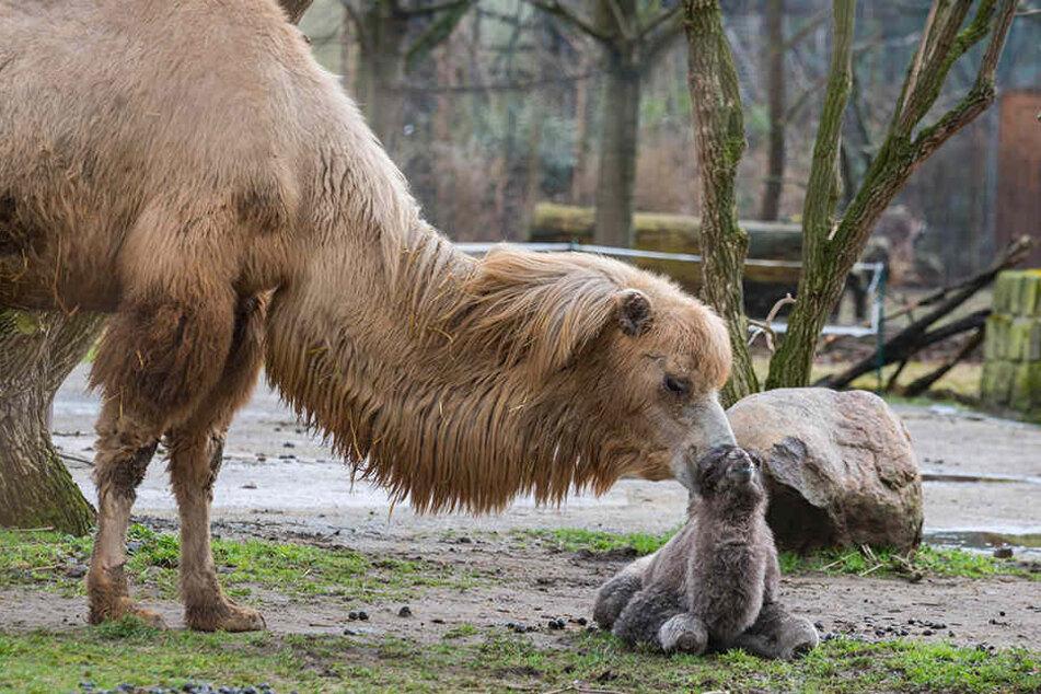 Wahre Kamelliebe: Trampeltier-Stute Inka (14) kümmert  sich um ihren frisch geborenen Zoran.