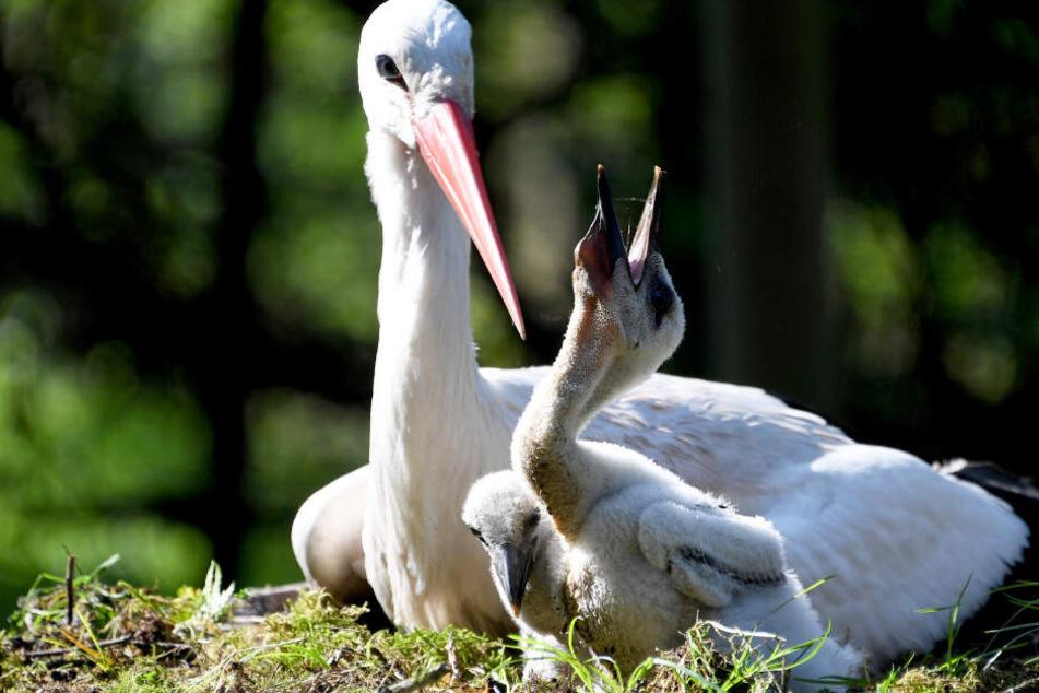 Zwei Storchenküken sitzen im Wildpark Eekholt neben ihrer Storchenmutter im Nest.