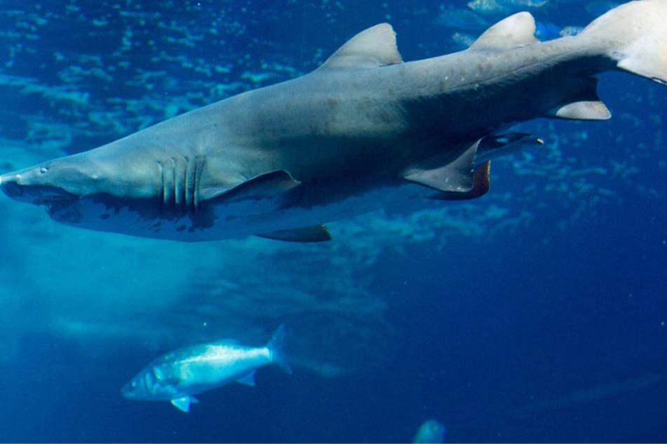 Darf man Haie in Aquarien halten? Über diese Frage ist in Pfungstadt ein heftiger Streit entbrannt.