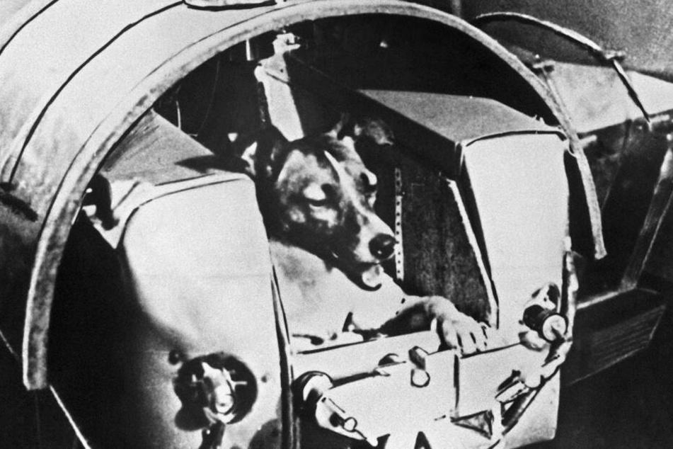 Nach monatelangen Tests in Druckkabinen war Laika das erste Lebewesen im All.