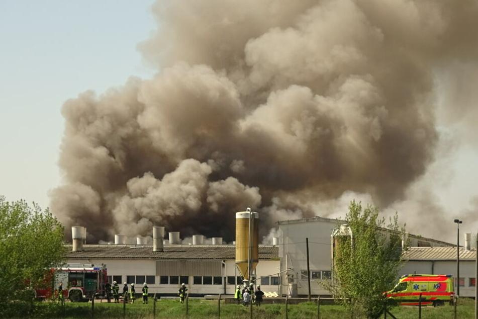 2000 Ferkel betroffen: Feuerwehr-Großeinsatz in Schweinezuchtanlage