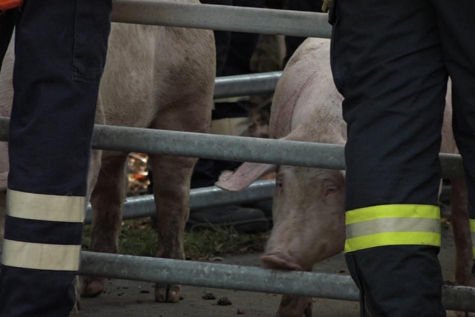 Zahlreiche Schweine bezahlten den Unfall mit ihrem Leben.