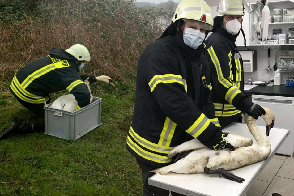 Angelhaken im Schnabel: Völlig erschöpfter Schwan vor dem Ertrinken gerettet