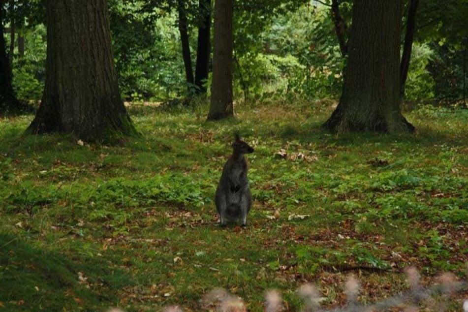 In einem Park bei Kollm ist ein herrenloses Känguru gesichtet worden.