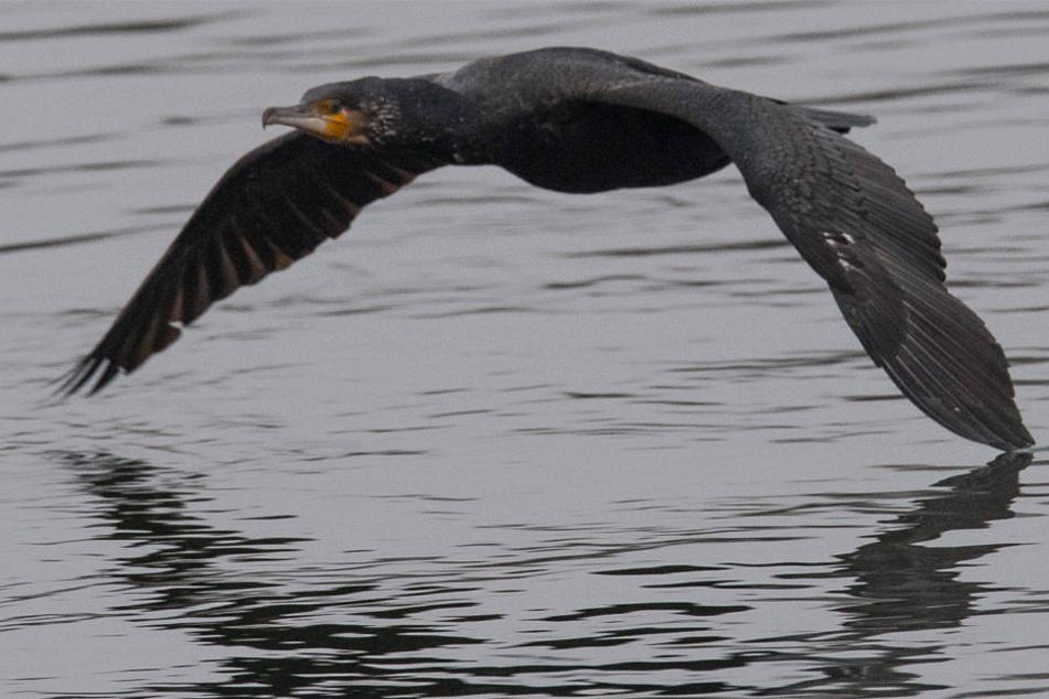 Ein Kormoran gleitet über das Wasser.