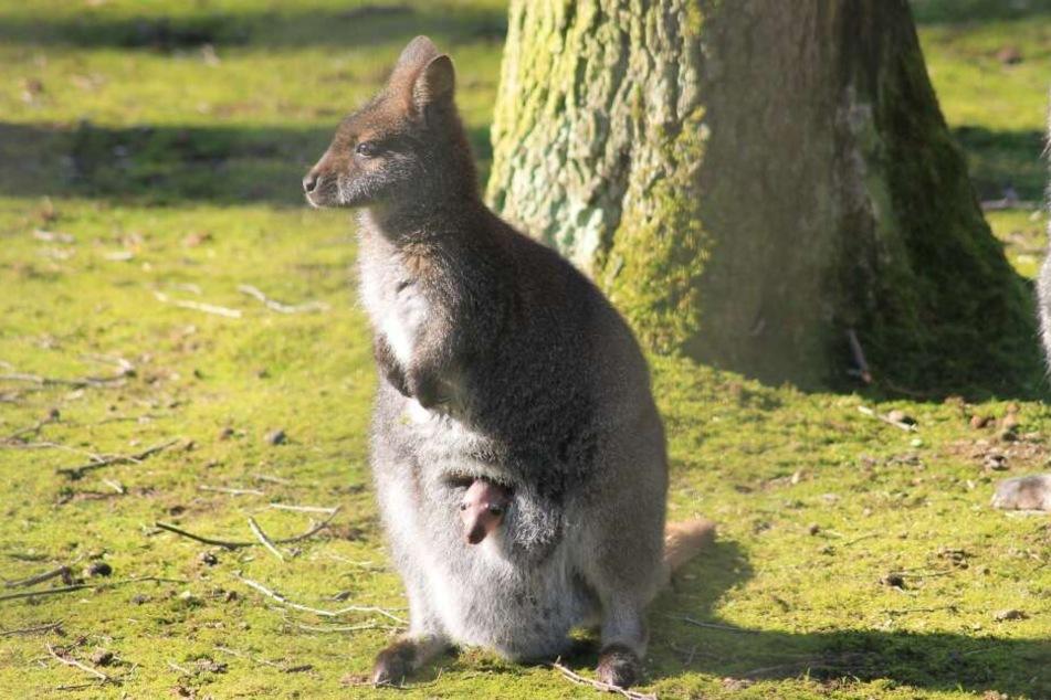 Bei den Bennettkängurus im Tierpark gibt es Nachwuchs.