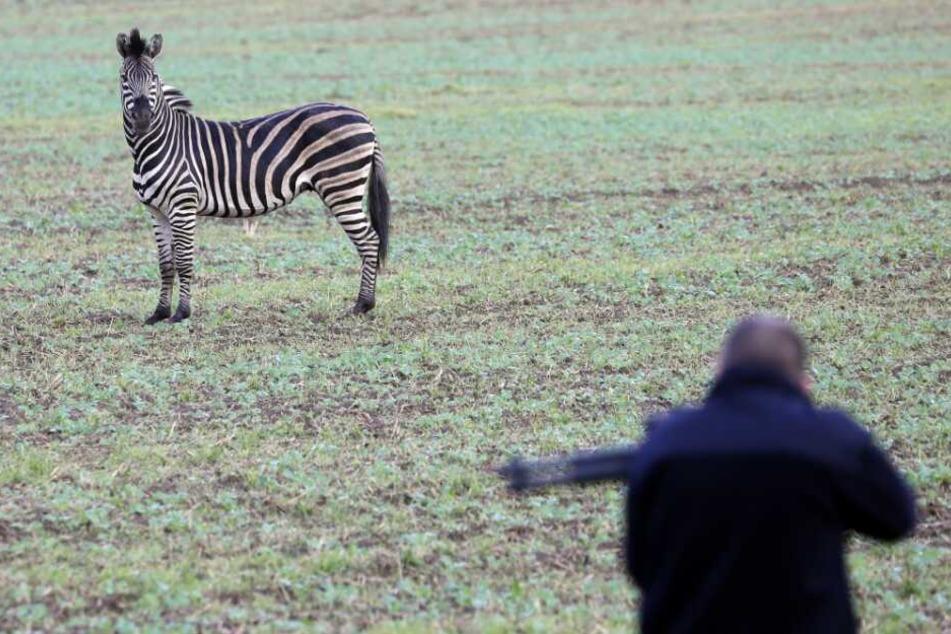 Das Zebra war aus einem Zirkus in Tessin ausgebrochen und hatte auf der Autobahn A20 einen Auffahrunfall verursacht.