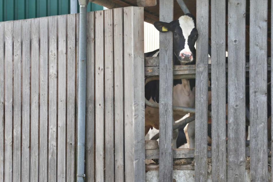 Der Betreiber des Milchviehbetriebs soll seine Kühe auf brutalste Weise misshandelt haben.