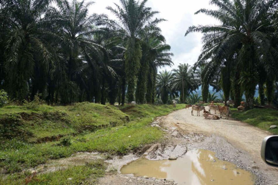 Stundenlang fährt man durch Palmöl-Plantagen auf Sumatra, Indonesien.