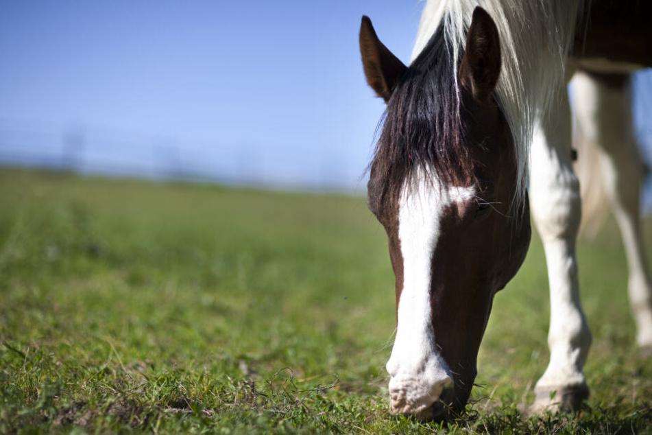 Das Pferd hatte auf der Weide gestanden, als der Täter zuschlug. (Symbolbild)