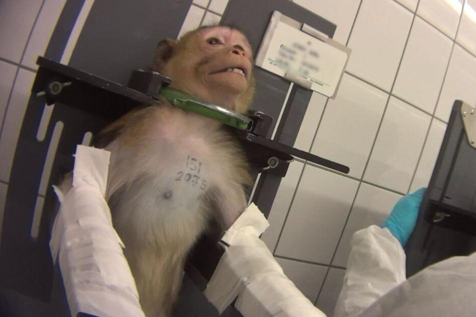Nach grausamen Tierversuchen: Todeslabor gibt Dutzende Affen zurück!