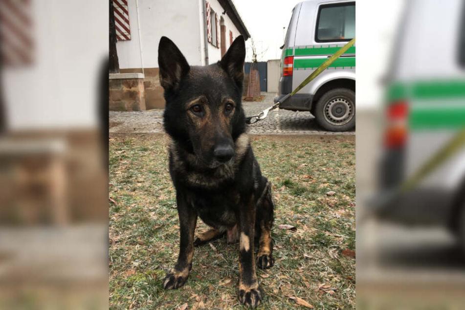 Das undatierte Foto zeigt den Polizeihund Ivo