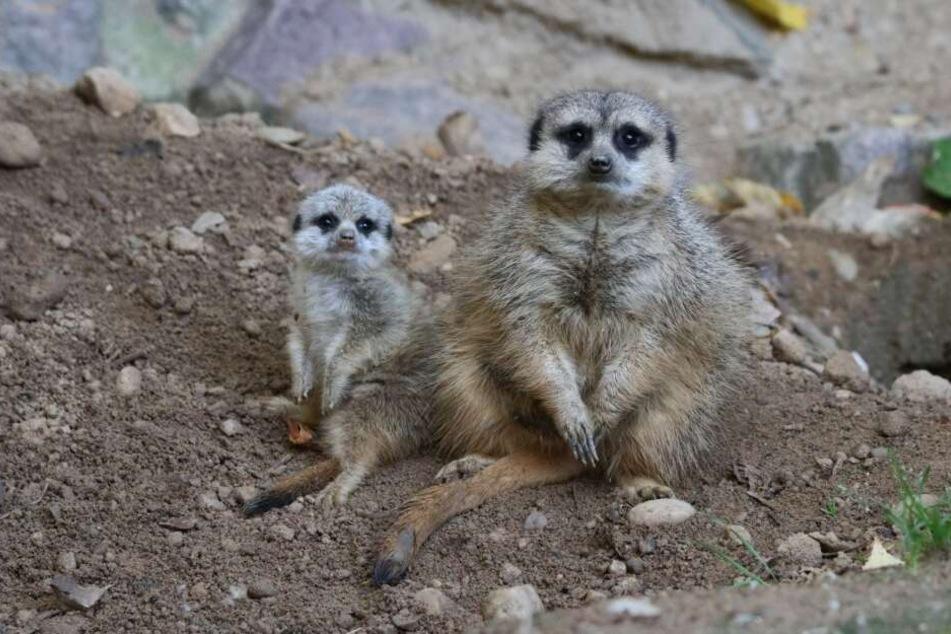 Tierischer Nachwuchs im Chemnitzer Tierpark. Die Erdmännchen haben erstmalig ein Jungtier zur Welt gebracht.