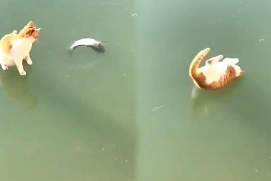 Die Katze versucht vergeblich den im See festgefrorenen Fisch zu fangen.