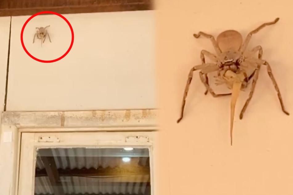 Nur der Schwanz ragt heraus: Was verspeist diese riesige Huntsman-Spinne?