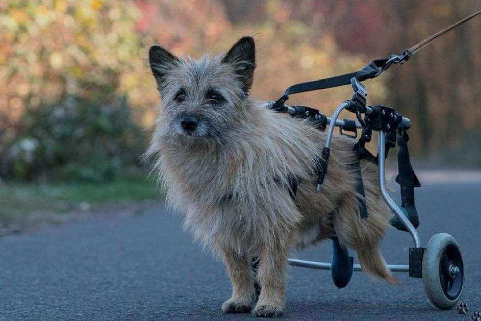 Dank der Hilfe des Tierrefugiums kam Benny an einen Rollstuhl und lebt nun bei den Betreibern.