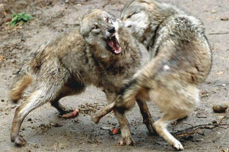 Vermutlich bei einem Wolfskampf ist einer der Kontrahenten getötet worden (Symbolfoto).