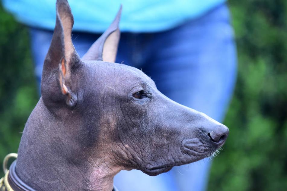 Hunde der Rasse Xoloitzcuintle haben in manchen Fällen gar kein Fell.