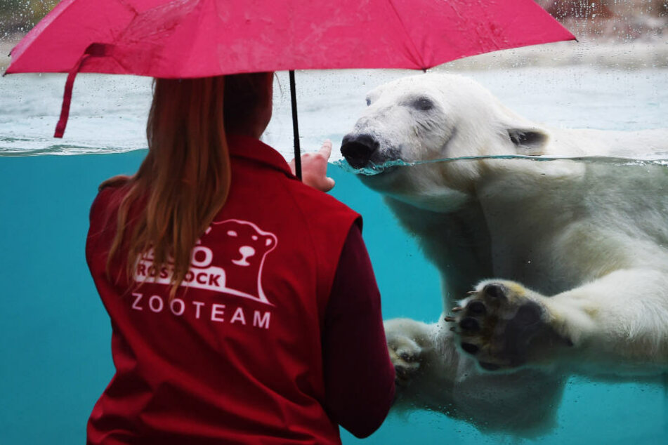 Der Eisbärin Noria schwimmt in einem Becken des neuen Polarium im Rostocker Zoos.