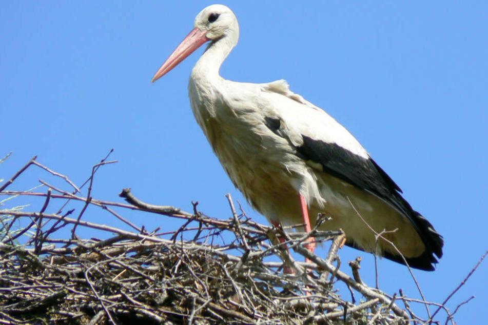 Frühlingsbote: Erster Storch ist zurück in Hamburg