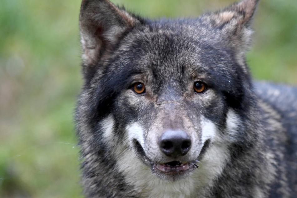 Es wäre der erste Wolf im Osten von Thüringen. (Symbolbild)