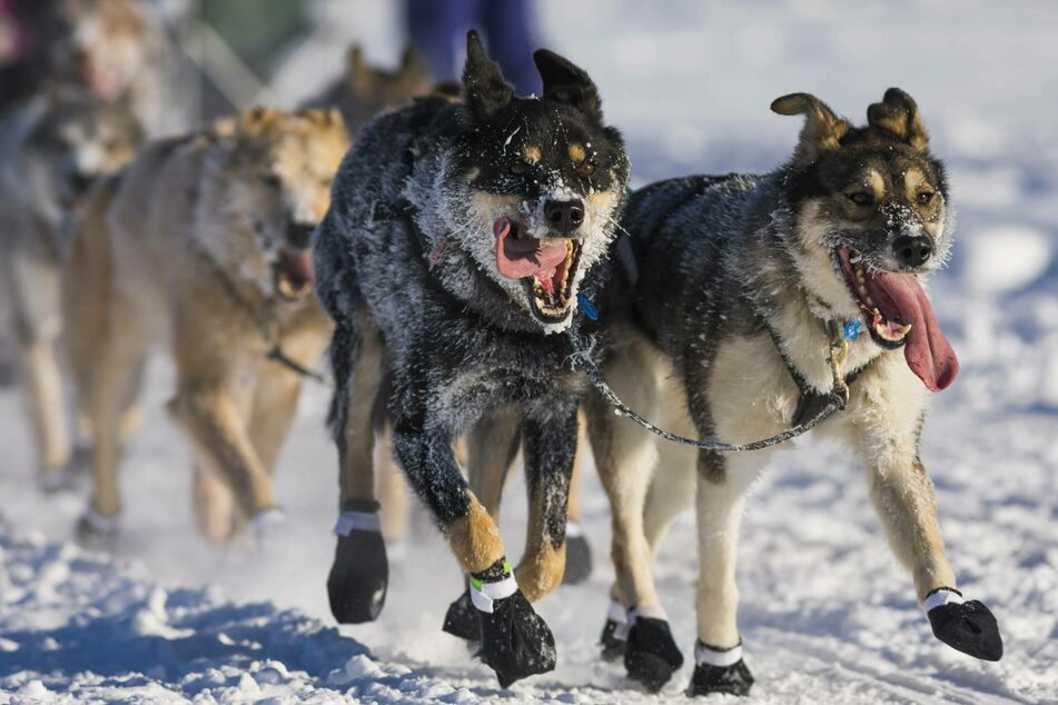 The world's toughest dog sled race has begun – and Covid will make it even tougher!