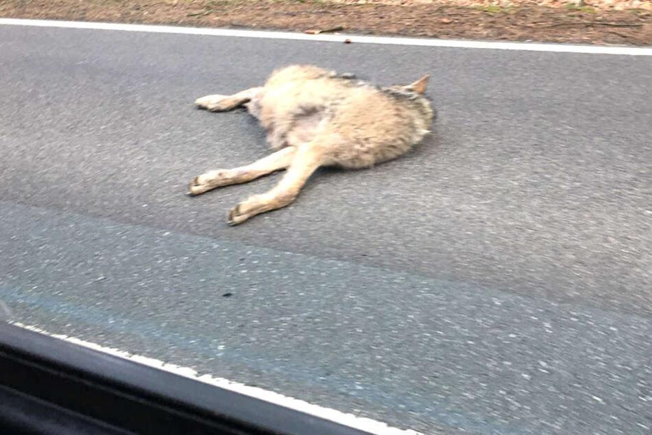 Das Tier lag leblos auf der Straße.