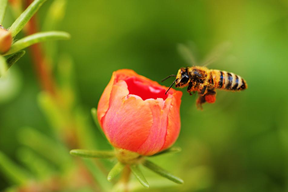 Eine Honigbiene in freier Natur: Sind die kleinen Hautflügler schlauer als bislang angenommen?