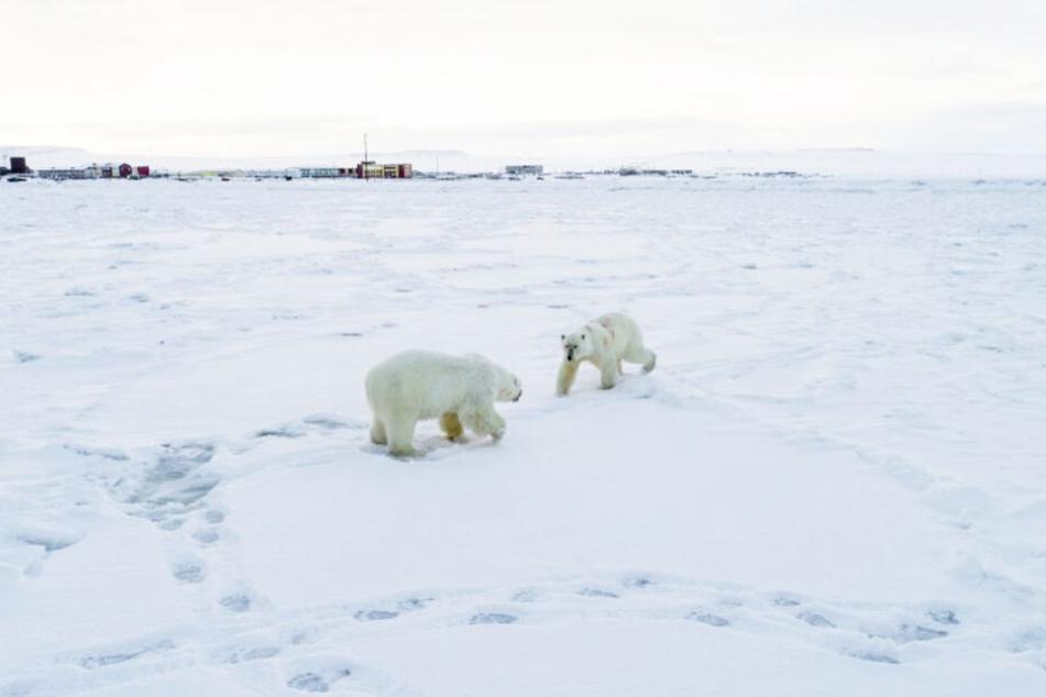 Zwei Eisbären suchen vor dem Dorf nach Futter.