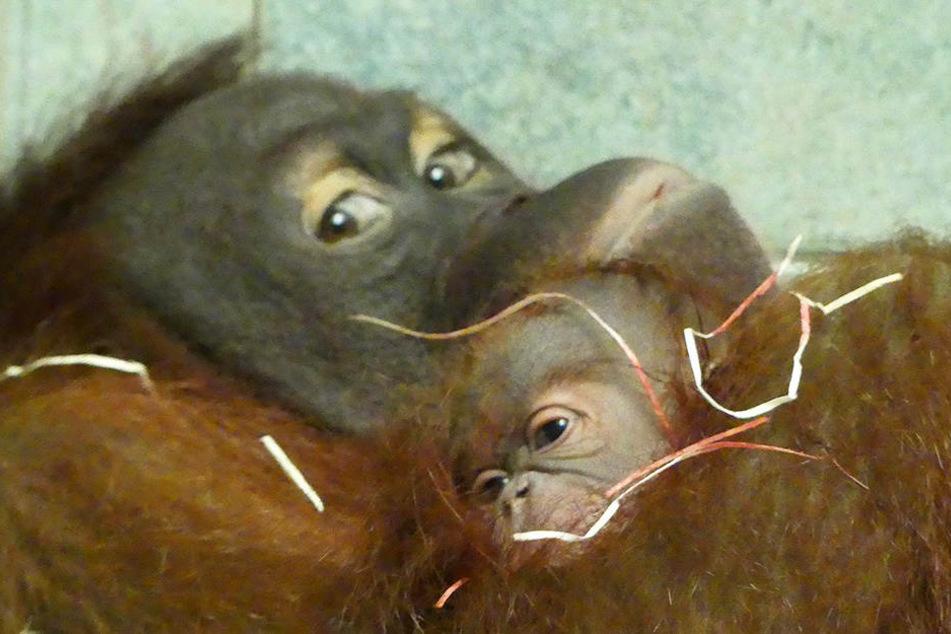 Orang-Utan-Dame Raja zeigt sich verkuschelt mit ihrem Nachwuchs.
