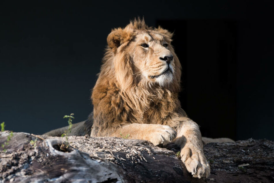 Im Frankfurter Zoo gibt es bald einen asiatischen Löwen zu bestaunen. (Symbolbild)