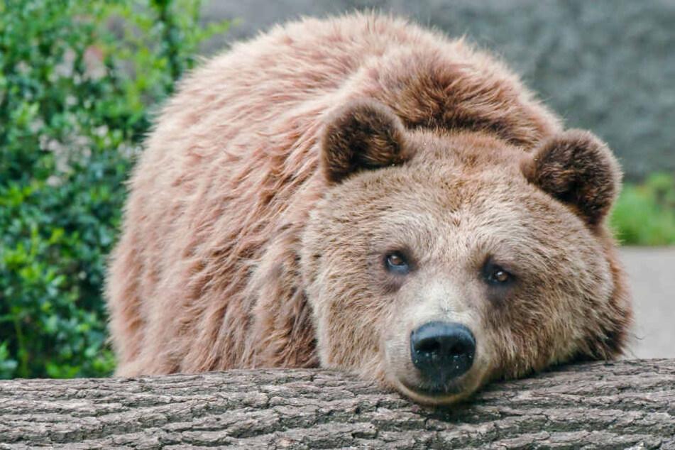 Schweren Herzens entschied das Team des Tierparks Delitzsch, die Bären-Dame Susi von ihren Leiden zu erlösen.
