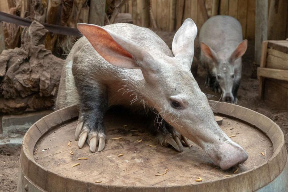 Dobby ist das erste Erdferkel-Männchen im Kölner Zoo.