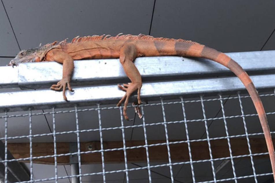 Der gefundene Leguan wurde nich artgerecht gehalten. (Symbolbild)
