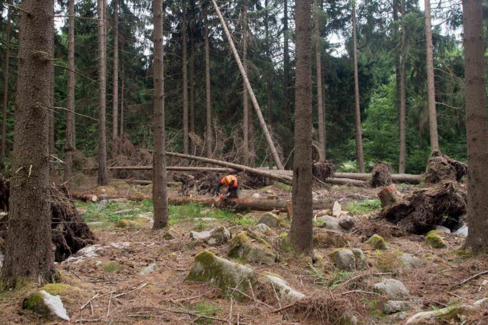 Nach den Stürmen im Herbst und Frühjahr gibt es viel Bruchholz in den Wäldern, das kommt den Schädlingen zugute.
