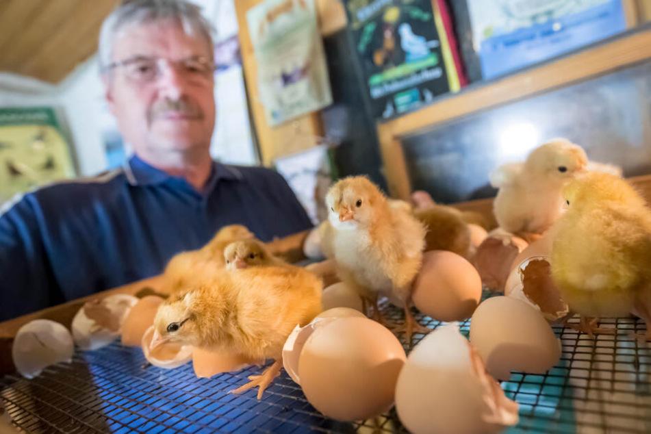 Hühnerzüchter Klaus Dietrich (67) leiht dem Museum einen Brutapparat, in dem die Küken schlüpfen.