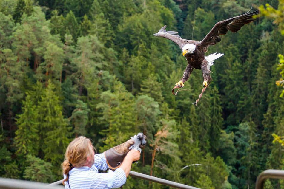 Der Adler flog mit einer Angelschnur von der Burg über die Schlucht zur Aussicht, wo ihn der Falkner erwartete.