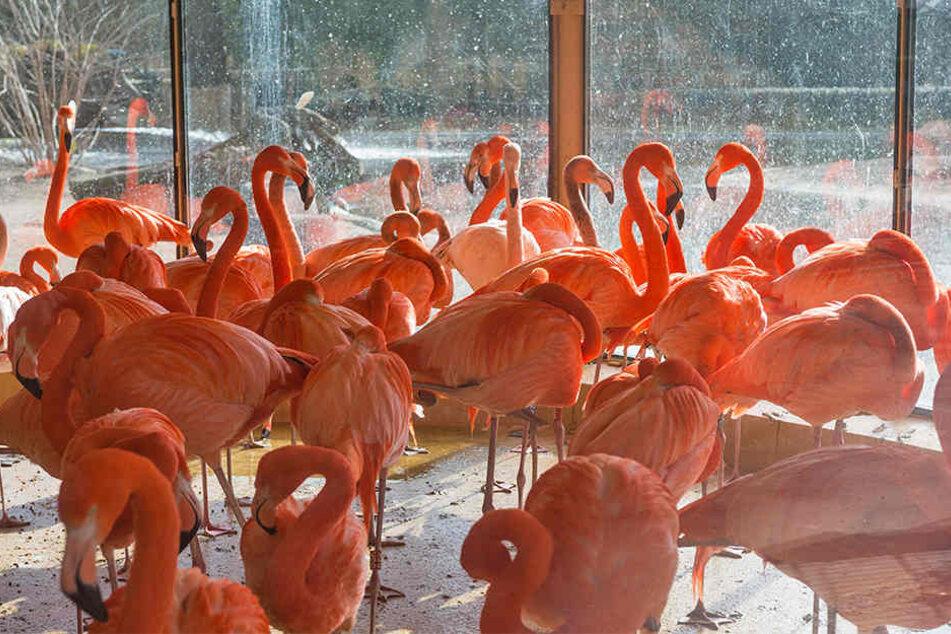 Vogelfrei ist etwas anderes: Für Flamingos und Pelikane können Eisflächen gefährlich sein.