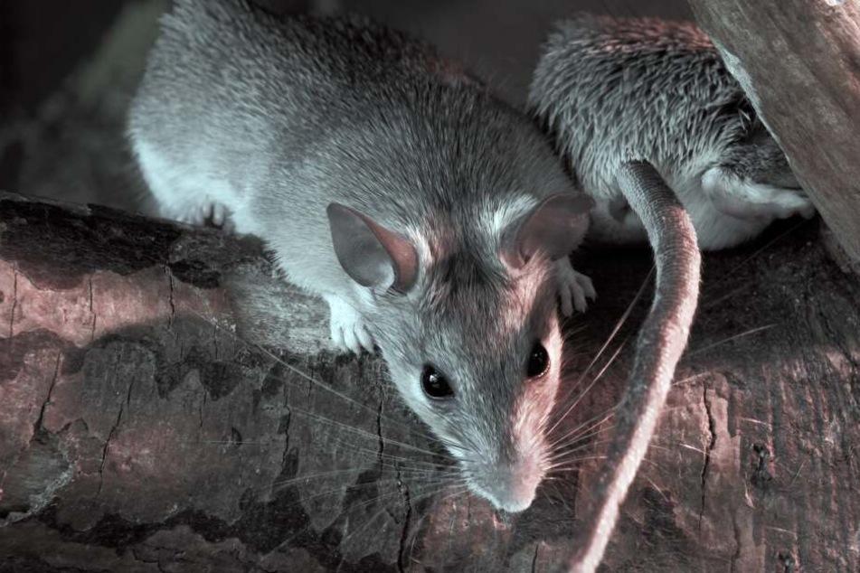In Großstädten wie Leverkusen oder Köln gibt es auch viele Ratten (Symbolbild).