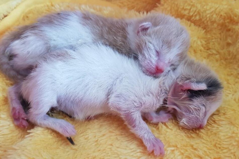 Bei diesen beiden Kitten krochen die Fliegenmaden bereits aus den Ohren, hier musste schnell gehandelt werden.