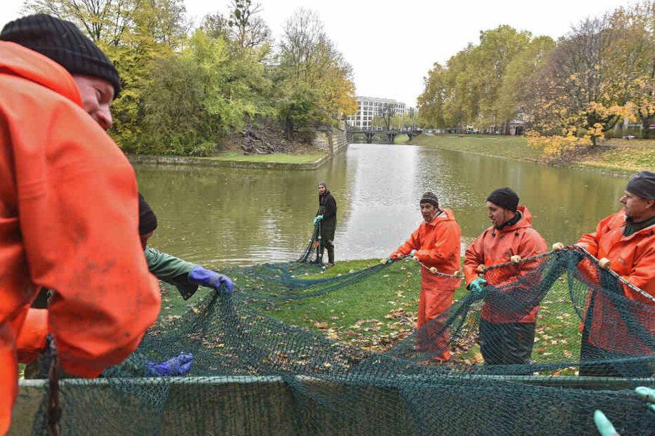 Dresden: 600 Kilo Karpfen gingen ins Netz: Großer Fischzug im Zwingerteich