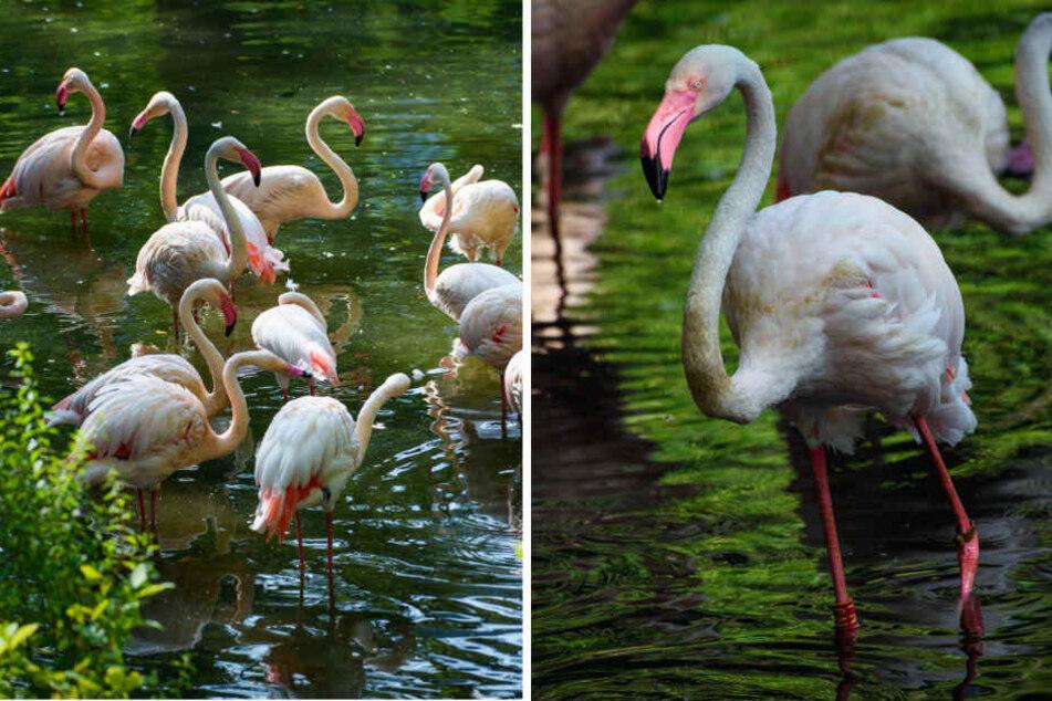 Eine Gruppe Flamingos steht während der morgendlichen Gefiederpflege im einem kleinen See im Berliner Zoo. Einer von ihnen, Flamengo Ingo.